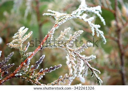 Juniper branches frosted close in late autumn - stock photo