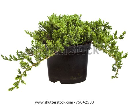juniper (Juniperus) tree isolated on a white - stock photo