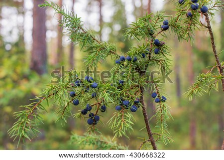 juniper with ripe berries in the woods - stock photo