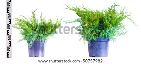 Junipers in a pot on a white background - stock photo