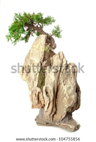 Juniperus chinensi bonsai isolated on white - stock photo
