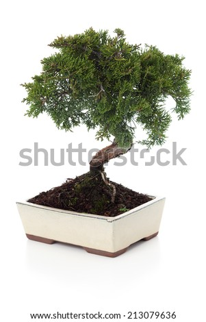 Juniperus Chinensis bonsai isolated on white. - stock photo