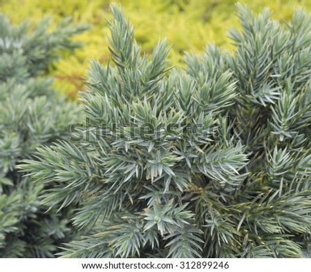Juniperus communis - evergreen juniper tree, green branch on natural yellow background in the garden. - stock photo