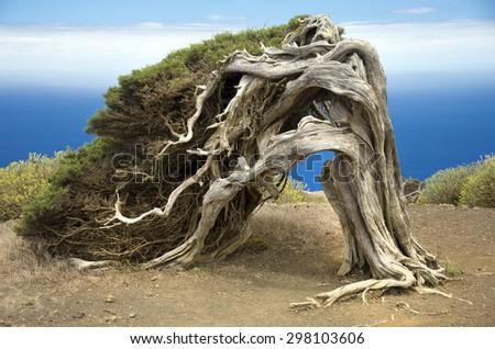 Juniperus phoenicea in El Hierro Island Canary Spain - stock photo