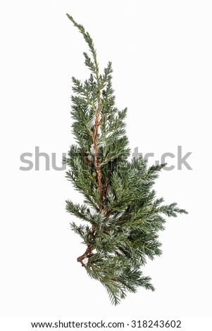 Juniperus sabina branch isolated on white