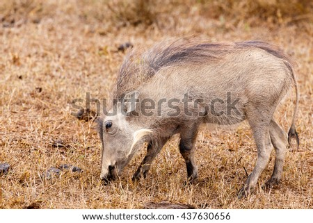 Just eating grass - Phacochoerus africanus - The common warthog is a wild member of the pig family found in grassland, savanna, and woodland in sub-Saharan Africa. - stock photo