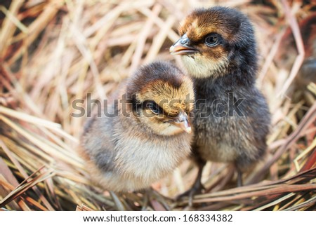 Just giving birth chickens in a nest  - stock photo