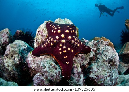 Just off Cocos Island, Costa Rica, a diver hovers above a rocky reef on which a seastar clings.  This remote island is known for its large populations of sharks and fish. - stock photo
