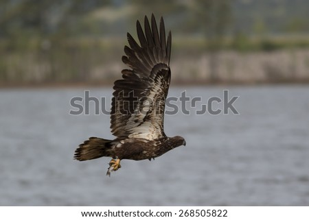 Juvenile American Bald Eagle catching a fish - stock photo