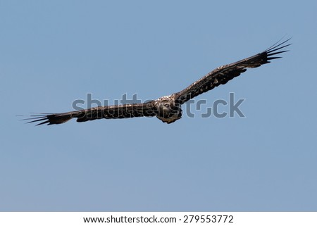 Juvenile American Bald Eagle hunting springtime fishing grounds - stock photo