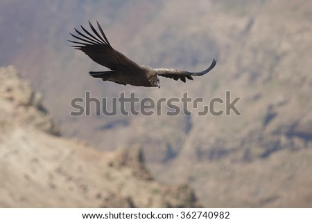 Juvenile Andean Condor (Condor Vultur gryphus) flying against a background of the Andes Mountains near Santiago in Chile.