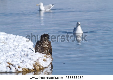 Juvenile Bald Eagle hanging out by the waters edge  - stock photo