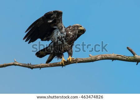 Juvenile Bald Eagle perched on a branch stretching its wings.