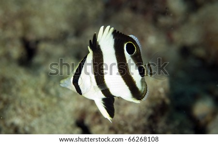 Juvenile Banded Butterflyfish-Chaetodon striatus, picture taken in south east Florida. - stock photo