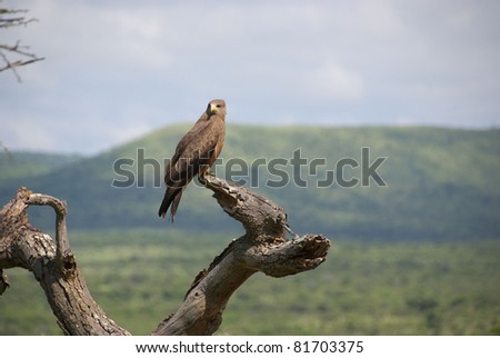 Juvenile bateleur eagle perched on dead tree at Hluhluwe-Umfolozi Game Reserve  In central Zululand, KwaZulu-Natal, South Africa and is known for its rich wildlife - stock photo