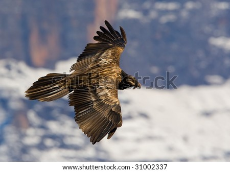 juvenile bearded vulture - stock photo