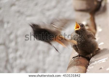 Juvenile Black Redstart after Feed - stock photo