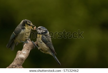 Juvenile Blue tit being fed by parent. - stock photo