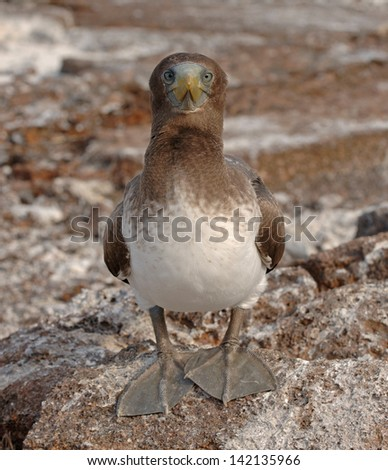 Juvenile Booby, Galapagos Islands - stock photo