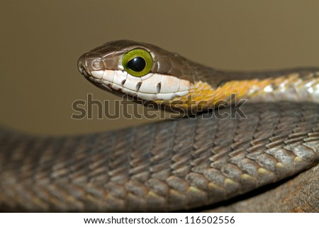 Juvenile Boomslang (Dispholidus typus) in South Africa - stock photo
