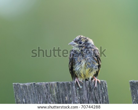 Juvenile bunting on the village fence/After the summer rain in Russian village - stock photo