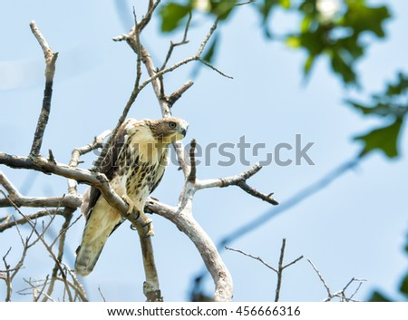Juvenile Buteo jamaicensis, Red-tailed hawk, sitting on top of a tree, peeking down - stock photo