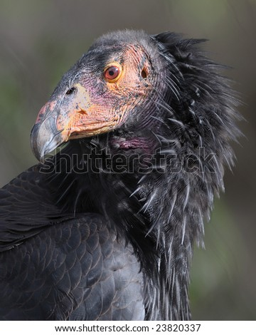 Juvenile California Condor - stock photo