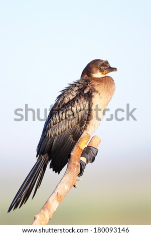 Juvenile cormorant resting on branch, South Africa - stock photo