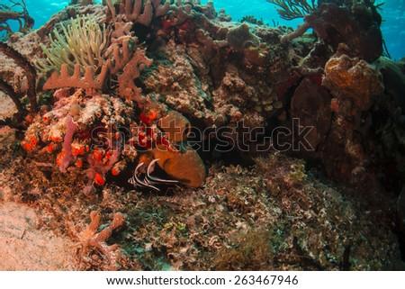Juvenile drum fish swimming near arrow crabs - stock photo