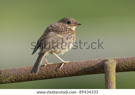 Juvenile European Robin (Erithacus rubecula) perched on a rusty old gate - stock photo