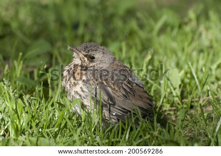 juvenile Fieldfare - stock photo