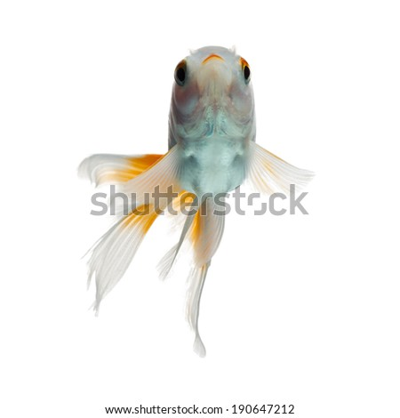 JUVENILE GOLDFISH, ABOUT 3 MONTHS OF AGE, ISOLATED ON WHITE BACKGROUND