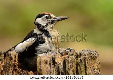 Juvenile Great Spotted Woodpecker (Dendrocopos major) on a tree stump. - stock photo