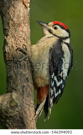 Juvenile Great Spotted Woodpecker in the spotlight - stock photo