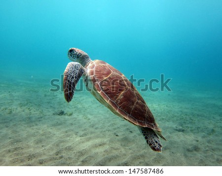 Juvenile green turtle - stock photo