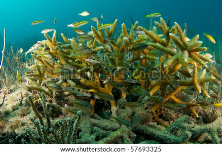 Juvenile Grunts taking shelter in and around a colony of Staghorn Coral and endangered species. - stock photo