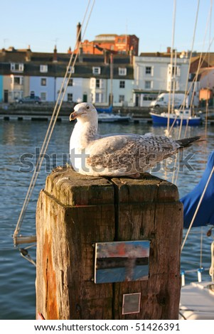 Juvenile herring gull as rest.