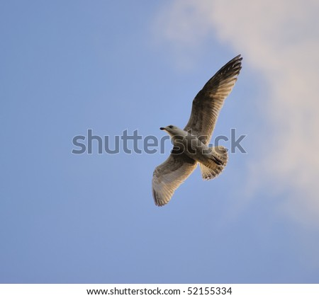 Juvenile herring gull soaring in blue sky, turning direction