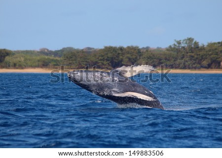 Juvenile humpback whale breaching close to shore in Hawaii - stock photo
