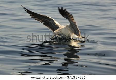 Juvenile Kelp Gull (Larus dominicanus), also known as the Dominican gull and Black Backed Kelp Gull. Natural blue ocean background. False Bay, South Africa  - stock photo