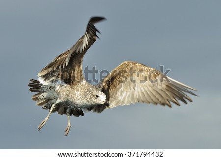 Juvenile Kelp gull (Larus dominicanus) in flight. Also known as the Dominican gull and Black Backed Kelp Gull. Natural Sky Background. False Bay, South Africa  - stock photo