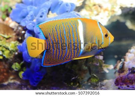 Juvenile King Angel fish ,Holacanthus passer - stock photo