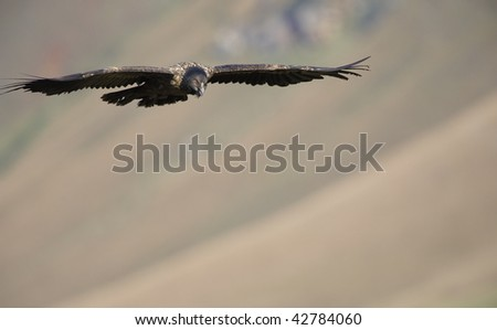 Juvenile Lammergeyer or Bearded Vulture (Gypaetus barbatus) in flight looking for prey in South Africa