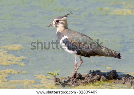 Juvenile Lapwing looking for food on the shore - Vanellus vanellus - stock photo