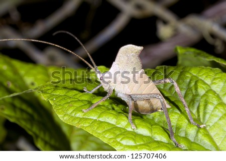 Juvenile leaf mimic katydid on a leaf in the rainforest understory, Ecuador - stock photo