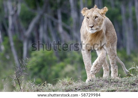 Juvenile lion, Panthea leo, walking in the wild
