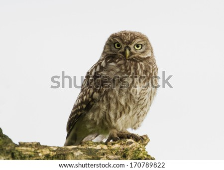 Juvenile little owl. - stock photo