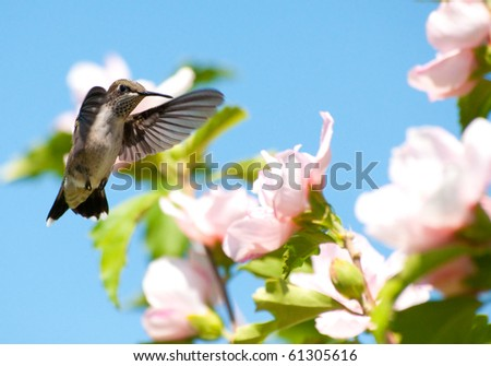 Juvenile male Ruby-throated hummingbird getting ready to feed on an Althea flower - stock photo