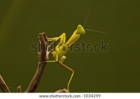 Juvenile Mantis religiosa, praying mantis on a stick