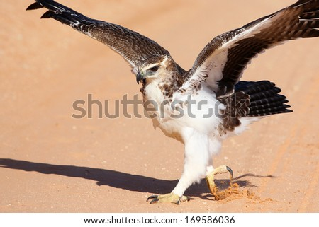 Juvenile martial eagle on the ground preparing to take off, Kgalagadi Transfrontier National Park - stock photo